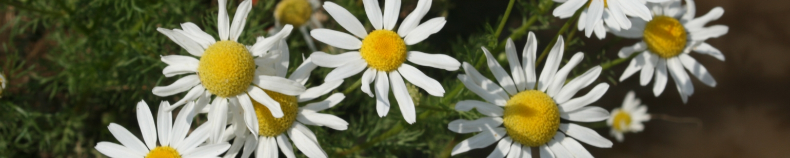 Mayweed or Stinking Chamomile